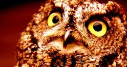 Saw- Whet Owl