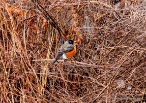 robin- resident of the critter bush
