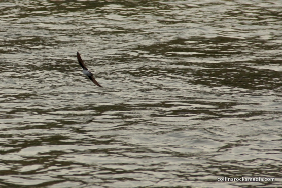 Swallow playing on the river