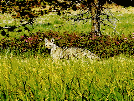 Coyote spotted at Hosmer Lake