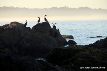 cormorants at dawn