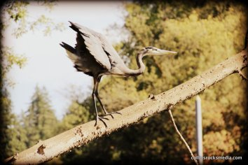 Blue Herron stretching